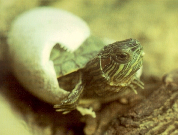 Hatchling Red-Eared Slider